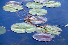 Long Pond Fall Lily Pads