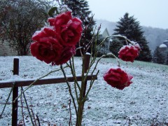 Roses in the Snow