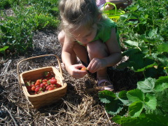 Strawberry Picking Season!