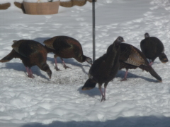 Giorgio Backyard Turkeys