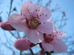 Peach Tree in Bloom in Endwell, NY