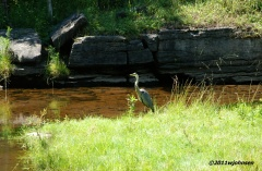 Blue Heron near Richfield Springs