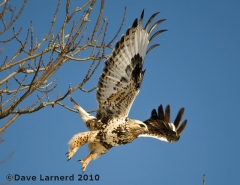 Rough Legged Hawk in flight.
