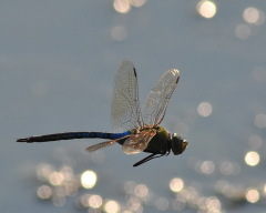 Male green Darner in flight