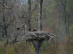 Active Osprey Nest