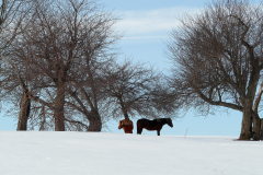 Horses under Old Apple Trees