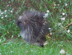 Porcupine Lookin' for a Home