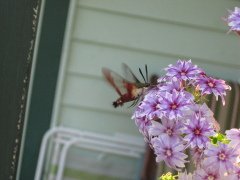 Hummingbird moth in my flowers