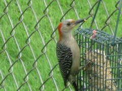 Lovely Woodpecker!