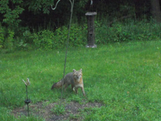 Fox in the Feeder