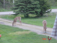 Deer in my driveway getting a drink