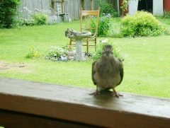 Baby Mourning Dove is curious!