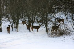 Winter whitetails.