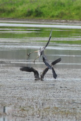 Herons fight over fishing spot