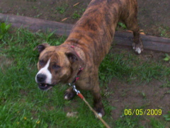 FOUND BRINDLE/WHITE UN-NEUTERED MALE PIT