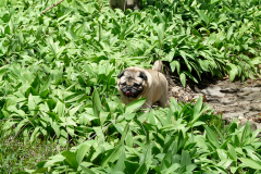 Frankie the Pug in a Leek Patch