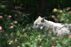 Wolves at Rosamond Gifford Zoo