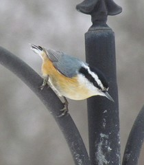 A Colorful Nuthatch