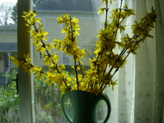 Yellow Forsythia Blossoms