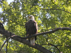 Bald Eagle on the Susquehanna