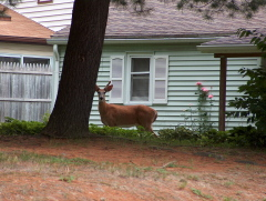 Deer in backyard -