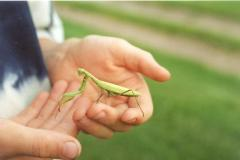 A praying mantis in my Grandsons hands.