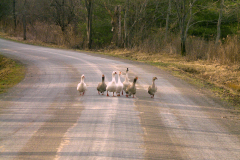 Ducks In A Row (Road)