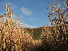 Sunny day in the corn maze