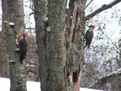 Piliated woodpeckers x 2, a rare sight