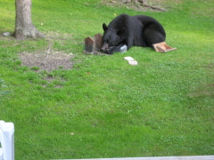 Bear eats suet