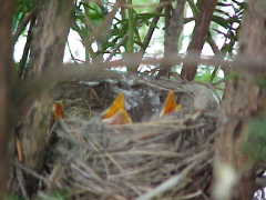 Our resident (& very determined) Robins!