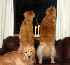 Golden Retrievers holiday season