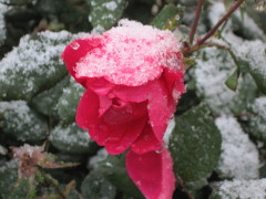snowing on the roses