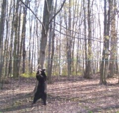 The bears in my back yard