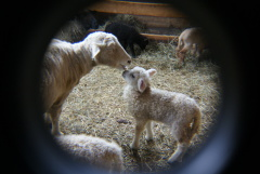 New arrivals at Sheepy Vally Farms
