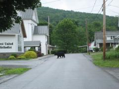 New Milford Bear