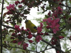 Goldfinch in flowering crab