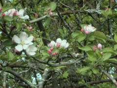 Apple blossoms on a warm sunny day