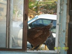 chicken in the window this moning