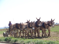 Amish working the fields with mules