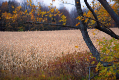 Autumn Corn Field Scenes