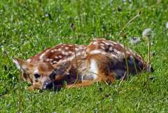 Fawn Resting in the Village of Oxford