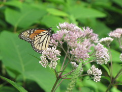 Butterfly and Joe Pye Weed