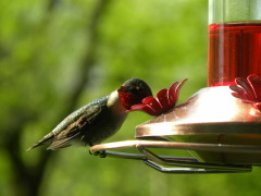 Humming Birds are out & about