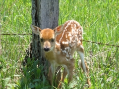 New arrival to our deer population.
