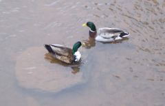 Our Ducks