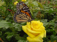 Butterfly Enjoying Summer Rose