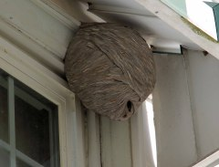 The Neighborhood Wasps at work