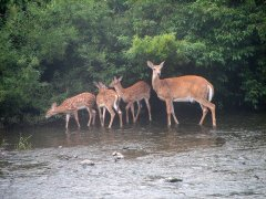 Mother doe and her thriplets