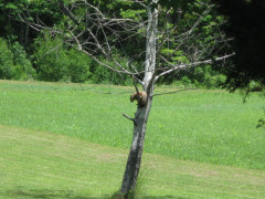 woodchuck resting in tree